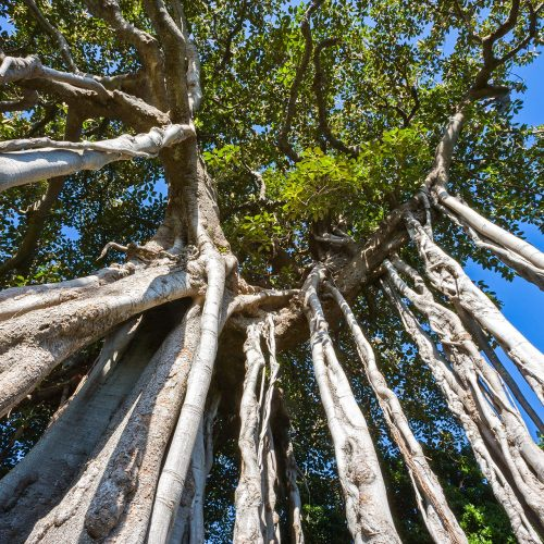 Looking up from the base of a banyan tree on a clear day