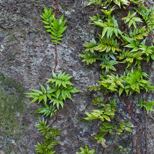 Ferns growing on a rock on Lord Howe Island