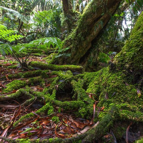 Moss covering the base of trees on Mt Gower Lord Howe Island