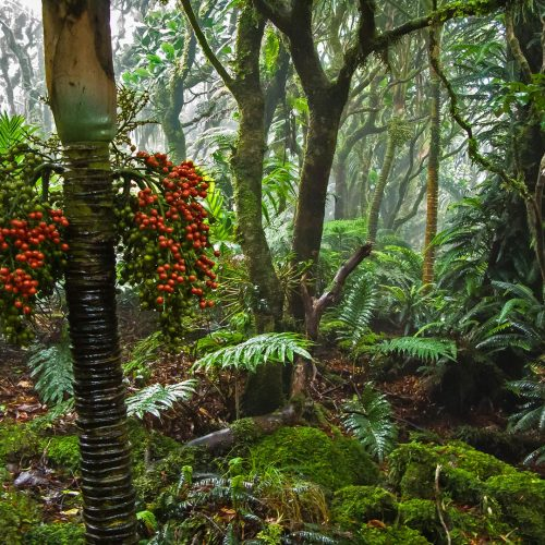 Mist forest on top of Mt Gower Red Berries