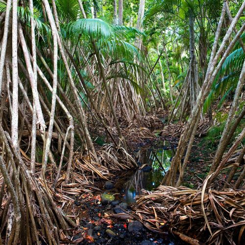 Pandanus Crowded Creek on the track to boat harbour