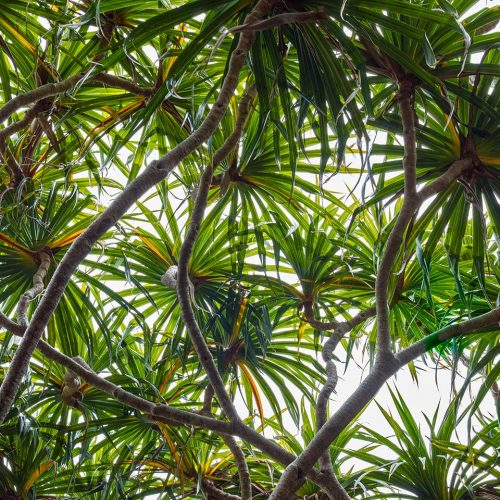 Pandanus tree top skylights