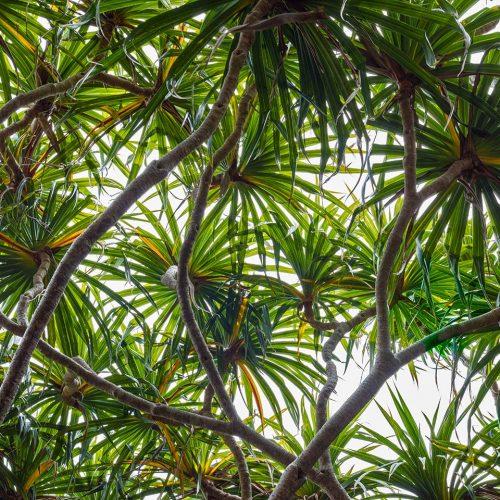 Pandanus tree top skylights