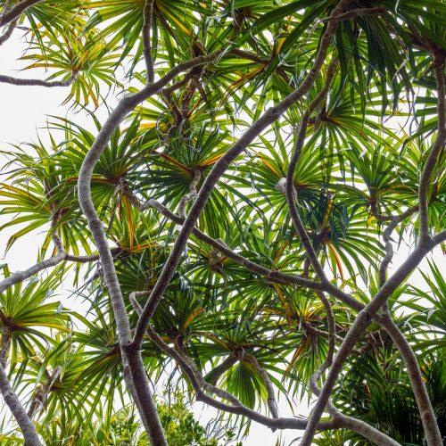 Pandanus Tree Skylights