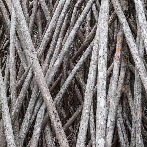 Pandanus tree trunk above ground