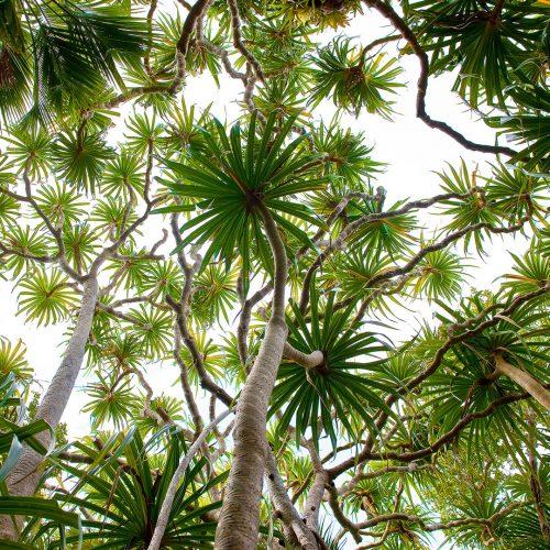 Pandanus Canopy